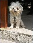 Pierdut caniche maltez-iuki-ii-jpg