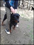 Vand catea rottweiler rasa pura-2013-04-18-14-56-06-jpg