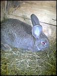 vand/schimb  iepuri urias belgian de diferite varste-fotografie0332-jpg