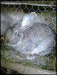 vand/schimb  iepuri urias belgian de diferite varste-fotografie0266-jpg