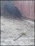 Rottweiler pentru monta-img_20141215_163658-jpg