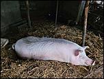 vand porc-received_2761771284137670-jpeg