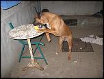 Ofer boxer(mascul)pt monta exemplar deosebit-img_3174-jpg