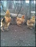 vand oua pt incubatie/ gaini de rasa-imag022-jpg