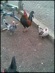 vand oua pt incubatie/ gaini de rasa-imag018-jpg