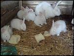vand iepuri belgieni albi cu ochii rosii, pui si adulti-imagine009-jpg