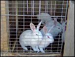 vand iepuri belgieni albi cu ochii rosii, pui si adulti-imagine015-jpg